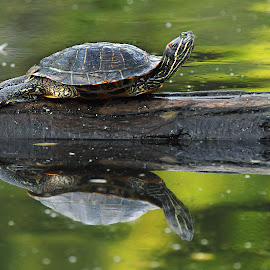 Red-eared slider by Gérard CHATENET - Animals Amphibians