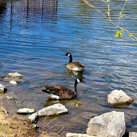 Ducks by the rocks. by Peter DiMarco - Nature Up Close Water ( ducklings, animals, waterscape, ducks, birds )