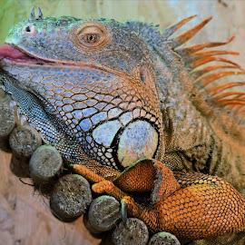 Golden Leguaan by Claudia Lothering - Animals Reptiles