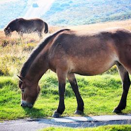 Exmoor Ponies by Garry Warren - Animals Horses ( wild, grazing, ponies, exmoor, summer )