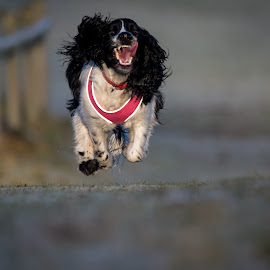 I'm So Happy I Could Fly by Michael Ripley - Animals - Dogs Running ( running, spaniel, happy, sprocker, dog )