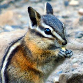MUNK BABY by Cynthia Dodd - Novices Only Wildlife ( nature, chipmunk, nature up close, wildlife, cute, animal )