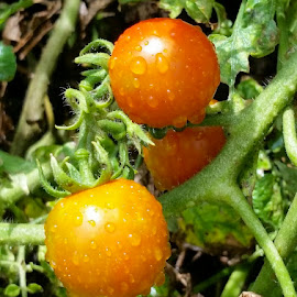 { Garden Fresh Tomatoes on the vine }  by Jeffrey Lee - Nature Up Close Gardens & Produce ( tomatoes, tomatoes on vine )