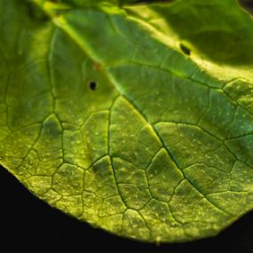 Green leaf by Marius Radu - Nature Up Close Leaves & Grasses ( green, texture, leaf, kitchen, food )