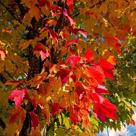 Fall colors by Will McNamee - Nature Up Close Leaves & Grasses ( dld3us@aol.com, gigart@aol.com, aundiram@msn.com, danielmcnamee@comcast.net, mcnamee2169@yahoo.com, ronmead179@comcast.net )