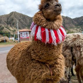 Dressy by Hezi Shohat - Animals Other ( peru, cusco )