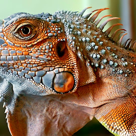 Red Dragon by DnA Photography - Instagram & Mobile Android ( red, dragon, iguana, animal )