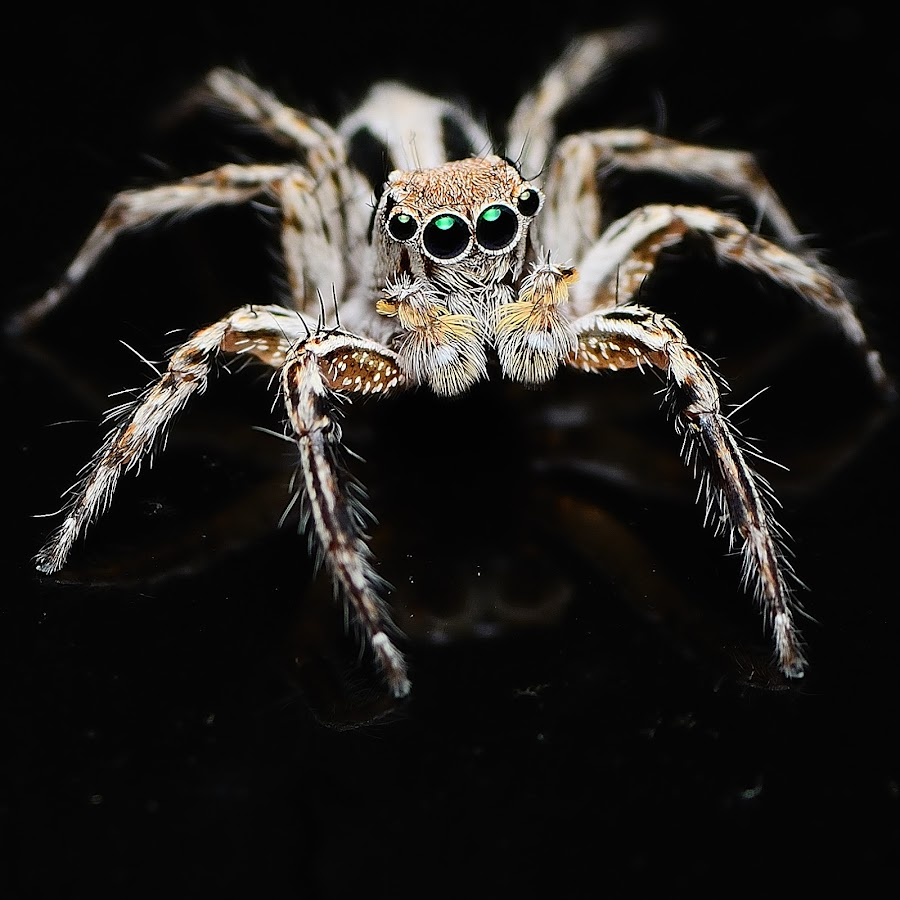 Jumper by Rizalis Rizal - Animals Insects & Spiders