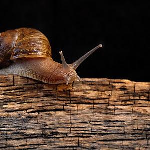 Snail Wood5.jpg