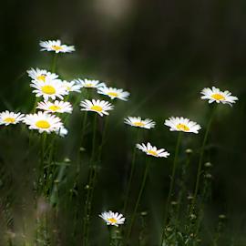 Moonlit Daisies by Darlene Lankford Honeycutt - Digital Art Things ( daisies, flowers, digital, moonlight )