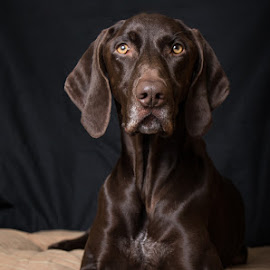 Jessie Pose by Krista Allen - Animals - Dogs Portraits ( studio, black background, german shorthaired pionter, lying down, jessie, dog portrait, dog )
