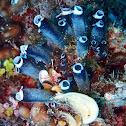 Little Bottle Sea Squirts