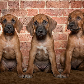 3 Pups in a row by Linda Johnstone - Animals - Dogs Puppies ( ridgebacks, pet photography, rhodesian ridgeback, animals, puppies, dogs, brick, pets, cute )