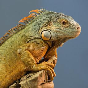 by Jack Nevitt - Animals Reptiles
