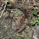 Mixtured Pygmy Frog