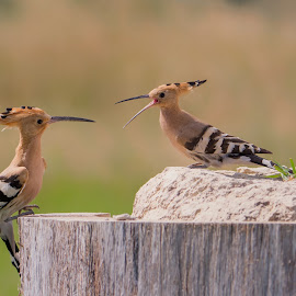 Hoopoe conversation by Globephoto CZ - Animals Birds ( animals, colourful, birds, wildlife )