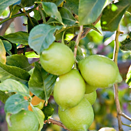 Lemons and Limes by Sherry Hallemeier - Nature Up Close Gardens & Produce ( fruit, lemons, california, trees, limes, produce )