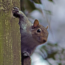 Curiosity by Barry Blaisdell - Animals Other Mammals ( wild, pole, curiosity, rodent, mammal, squirrel )
