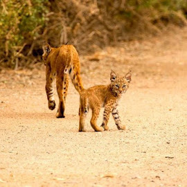 mom and kitten by Todd Wood - Animals Lions, Tigers & Big Cats (  )