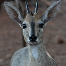 Grey Duiker by Lydia Schoeman - Animals Other