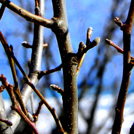 by Valerie J. Yelk - Nature Up Close Trees & Bushes ( natural light, macro, winter, macro photography, branches )