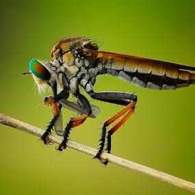 Break Fast by Setiady Wijaya - Animals Insects & Spiders ( roberfly )