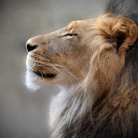 Majestic Lion by Dawn Hoehn Hagler - Animals Lions, Tigers & Big Cats ( big cat, lion, rio grande zoo, cat, zoo, albuquerque, albuquerque bio park )