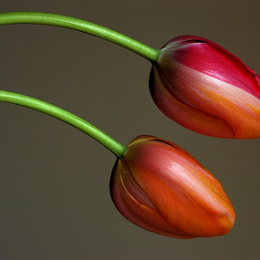 i miei tulipani penduli by Carmelo Parisi - Nature Up Close Flowers - 2011-2013