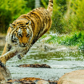 by James Eveland - Animals Lions, Tigers & Big Cats ( mammals, sedwick county zoo, animals, tiger, jeveland photos, zoo photos )