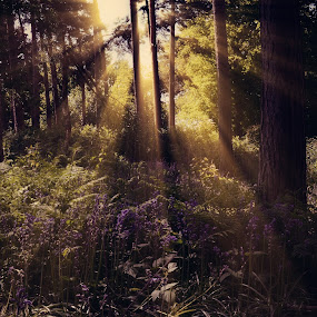 Summer Morning by Becky Wheller - Landscapes Forests ( trees, forest, woodland, sunray, landscape, morning, woods )