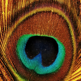THE peacock feathers by Kanwar Rajneesh Singh - Nature Up Close Other Natural Objects