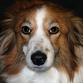 Ruby by Chrissie Barrow - Animals - Dogs Portraits ( female, sheltie cross, long haired, pet, white, fur, ears, dog, nose, tan, portrait, eyes )