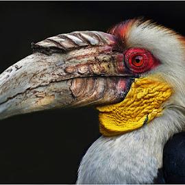 hornbill by Leon Pelser - Animals Birds ( no flash, iso 200, f 4.5, auto wb, 1/250 sec,  )