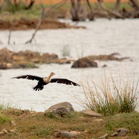 the cormorant landing by Christo W. Meyer - Novices Only Wildlife ( cormorant )