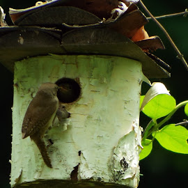 Wren Couple Feeding their Young  by Estela Salazar - Novices Only Wildlife