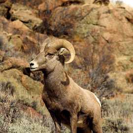by Tony Lobato - Animals Other Mammals ( wild, nature, rocky mountains, colorado, nature up close, wildlife, sheep, bighorn, animal )