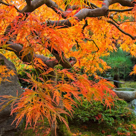 Fire and Water by Richard Duerksen - Nature Up Close Trees & Bushes ( portland, autumn, red leaves, japanese gardens, burning bush )