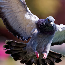 PiGeon by Raphael RaCcoon - Animals Birds ( pigeon, bird, color, wings, feathers )