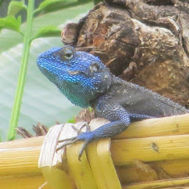 Blue Lizard  by Hannah Warner - Animals Reptiles