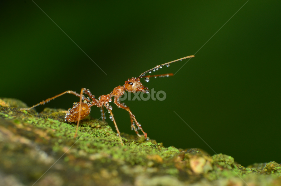 Freshened Up! by Geb Bunado - Animals Insects & Spiders ( water, macro, arthropod, wet, insect, weaver ant )