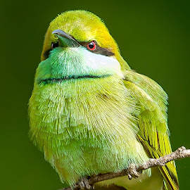 Green Bee-eater by S Balaji - Animals Birds ( wild, animals, balaji, s, nature, green bee-eater, birds )