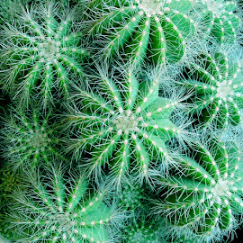 CACTI by SANGEETA MENA  - Nature Up Close Other plants