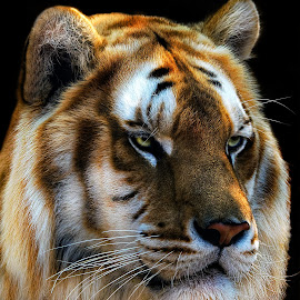 Eye of the Tiger by Claudia Lothering - Animals Lions, Tigers & Big Cats