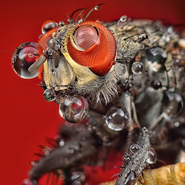 by SweeMing YOUNG - Animals Insects & Spiders ( invertebrate, animals, critter, apoidea, housefly, insect, apidae, entomic, extensiontubes, macro, apinae, arthropod, nsecta, bug, flies, apocrita, bombini )