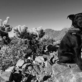 Hiking Buddy  by Deb Bulger - Animals - Dogs Portraits ( animals, desert, monochrome, b&w, dogs, black dogs, dog portrait, landscape, hiking, cactus )