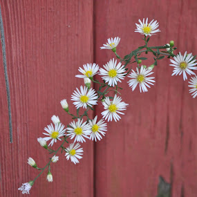 Small and White by Kristina Weber - Nature Up Close Flowers - 2011-2013 ( red, barn, wildflower, white, yellow, small )