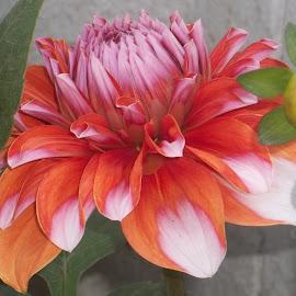 by Akashlina Sarkar - Novices Only Flowers & Plants ( orange, dalia, single leaf, single flower, green, white, pink, bud, garden flower )