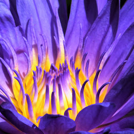 Water Lily by Kinga Urban - Flowers Single Flower ( water, nature, lily, wildflower, flower,  )