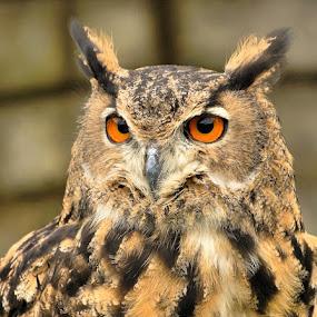 ... by H. B. - Animals Birds ( bird, animals, nature, owl, birds, owls )