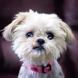 Eyes So Bright by Allie Cook - Animals - Dogs Portraits ( up close, shih tzu, dog, portrait )